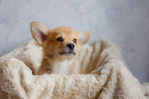 毛布の中のコーギーの子犬のクローズアップの肖像画