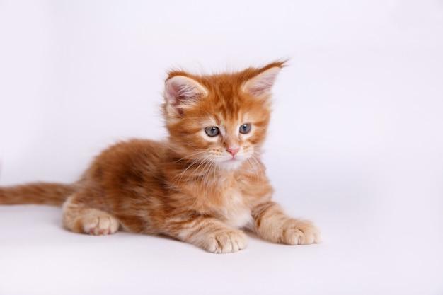 白い背景で隔離の子猫