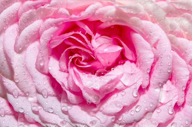 滴と装飾ピンクのバラの花の頭