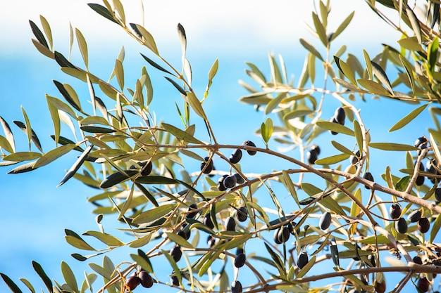 Оливковое дерево с листьями