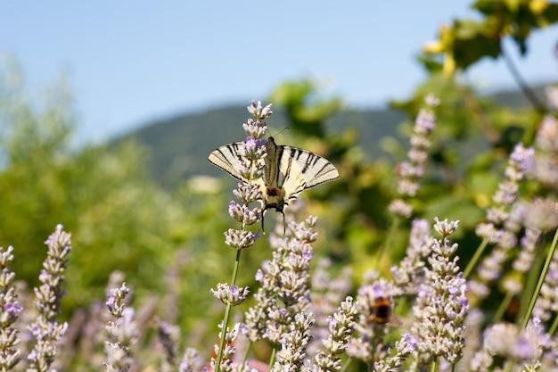 ラベンダーの花に古い世界アゲハチョウ