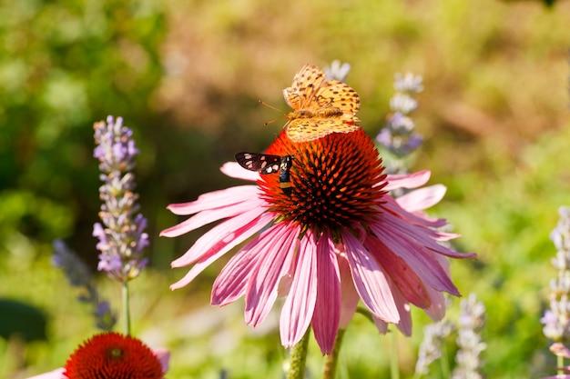 エキナセアの花を蝶します。