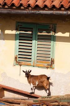 チベットのヤギ