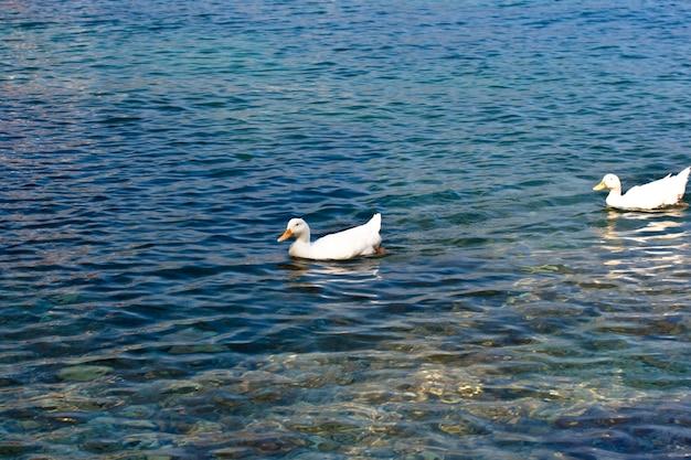 海のペキンアヒル
