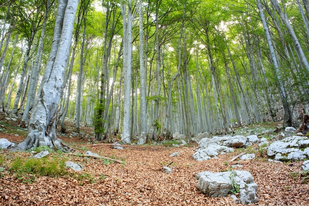 スロベニアのブナ林
