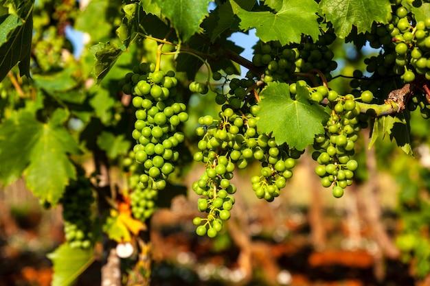 Белый виноград на виноградниках в сельской местности истрии