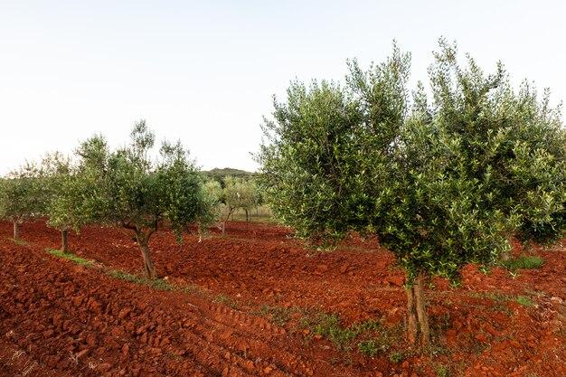 行のオリーブの木、イストリアの田舎。クロアチア