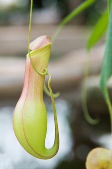 トロピカルピッチャープラントまたはガーデン内のモンキーカップ。ピッチャープランツファミリーは、熱帯林でカップの形をした昆虫を捕まえるタイプの植物です