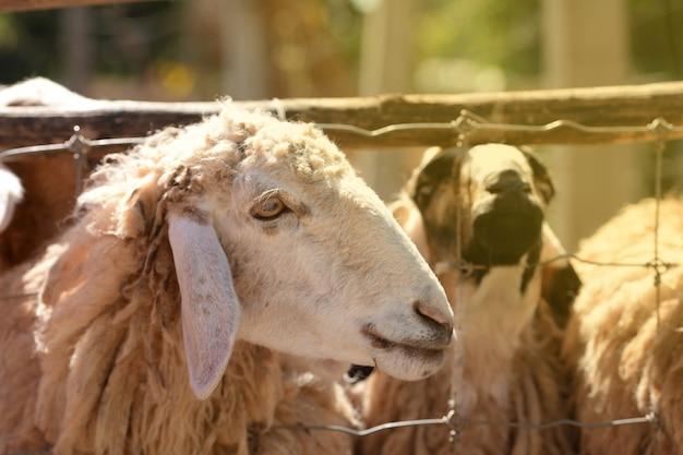 食べ物を待っている農場で男性の羊