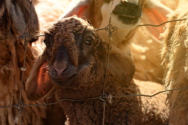 農場の肖像画を探しているとカメラに笑顔で茶色のランプ