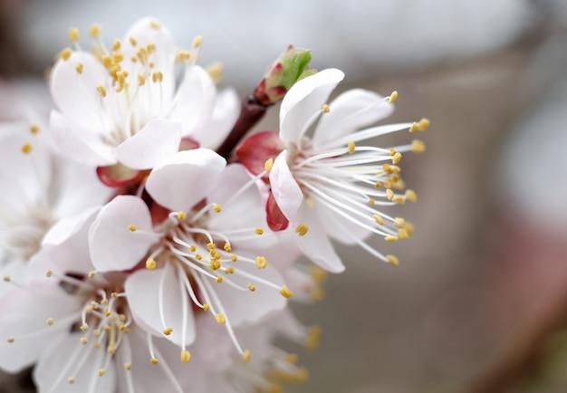 庭に咲くアプリコット。