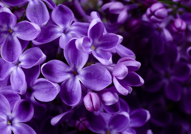美しい紫色のライラック色の花。