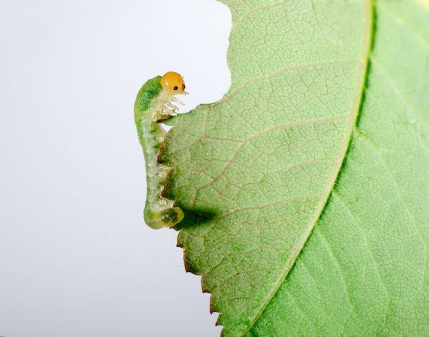 大きな毛虫が緑の葉を食べる