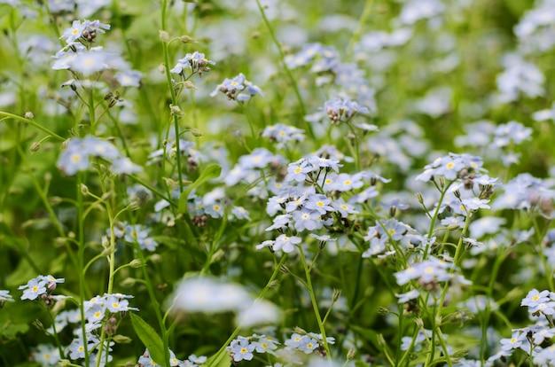 美しい青い花の野生の草原は忘れな草です。