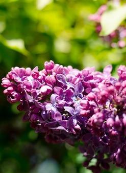 春の庭に咲く鮮やかな紫色のライラック。