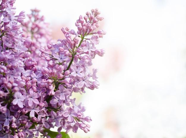 晴れた日に咲く美しい紫色のライラックと花の境界線。