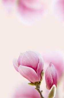 美しいピンクのマグノリアの花が咲きます。