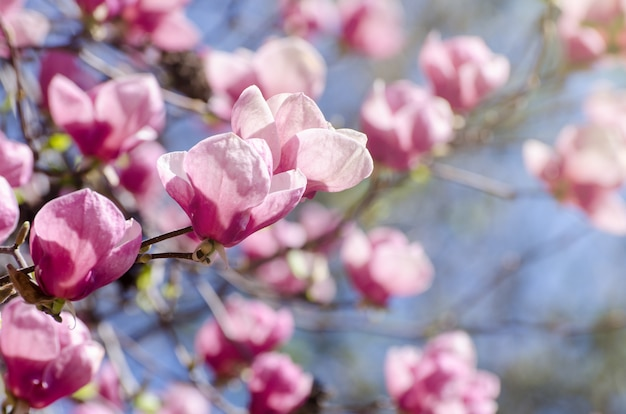 Красивое цветение дерева магнолии в весеннем времени.