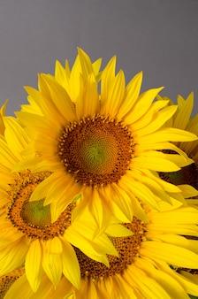 灰色に対して明るい黄色のヒマワリの美しい花束。