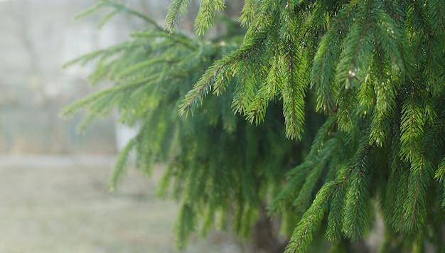 雨、霧の日に濡れているトウヒの枝。