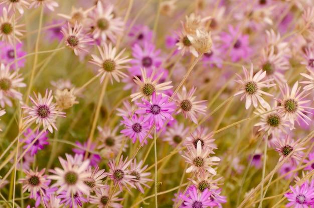 Летний цветочный из ярких фиолетовых ромашек.