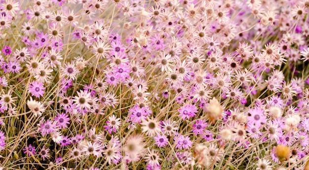 Яркие фиолетовые ромашки.