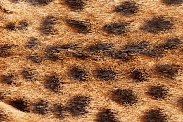 動物柄。ワイルド猫、サーバルファーの質感。ソフトフォーカスの自然な背景を閉じる