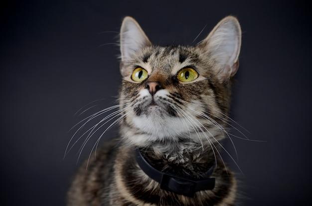 黄色い目を持つ美しい灰色猫