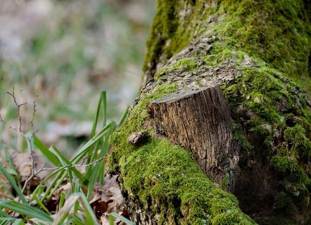 冬の森の明るい緑の苔の切り株。冬の季節