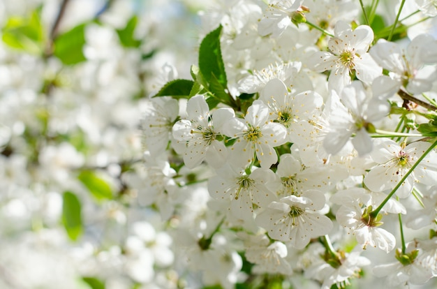 桜の花。白い春の花のクローズアップ。ソフトフォーカス春季節背景。