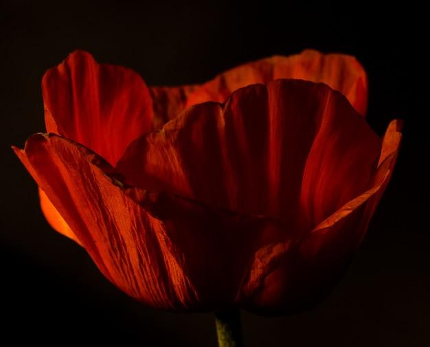 暗いに対して赤いケシの花。