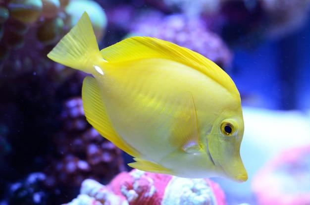 ゼブラソーマ、黄色のクロハギ。塩水水槽内の明るいサンゴ礁の魚。