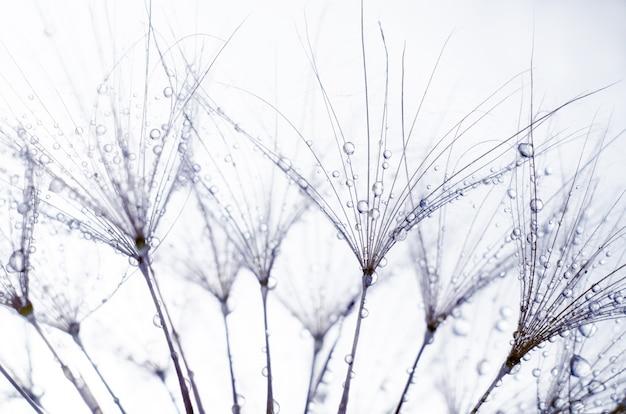 Семена бородатого цветка, трагопогон дубиус или сальсиф. абстрактный натуральный