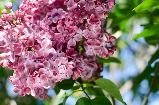 美しい紫色のライラックの花。ライラックの春の花のマクロ写真。