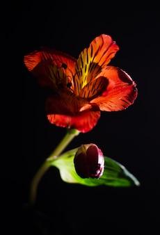 Яркий цветок альстромерия на черном фоне.