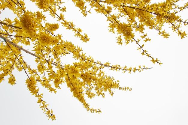 レンギョウは雨のクローズアップ後に村に咲きます。春の風景、自然の復活。