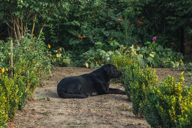 庭に座っている美しい黒のラブラドールの屋外のポートレート。路上のペット。人間の友。ガイド。