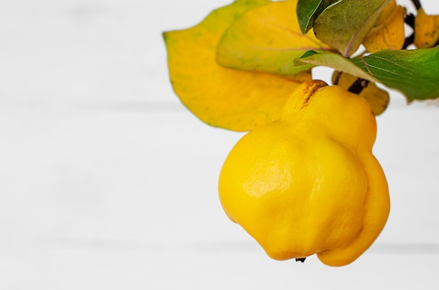 白い背景に熟した黄色のカリン。オーガニックフルーツ。コピースペース。
