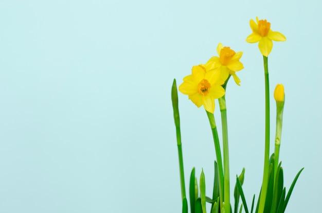 Нарцисс цветок на синем. копировать пространство