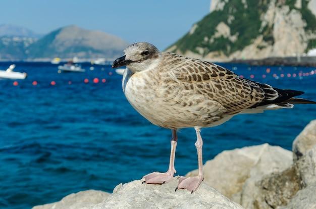 カプリ島のイタリアの石の上に立っているカモメの肖像画を間近します。