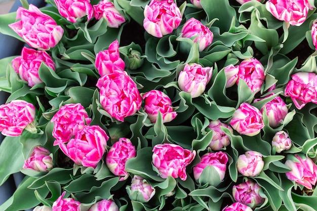 春の自然の背景に美しいピンクと白のチューリップ