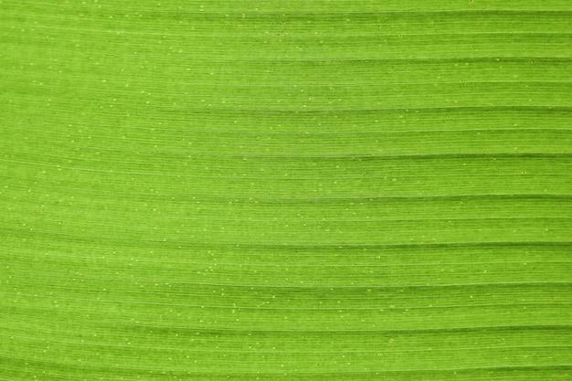 バナナの葉の概要