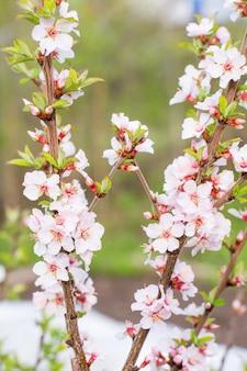 Ветки сакуры на фоне сада