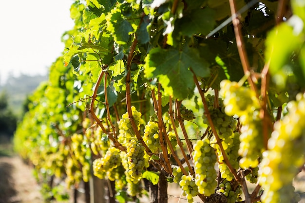 ブドウ園で成長しているブドウ