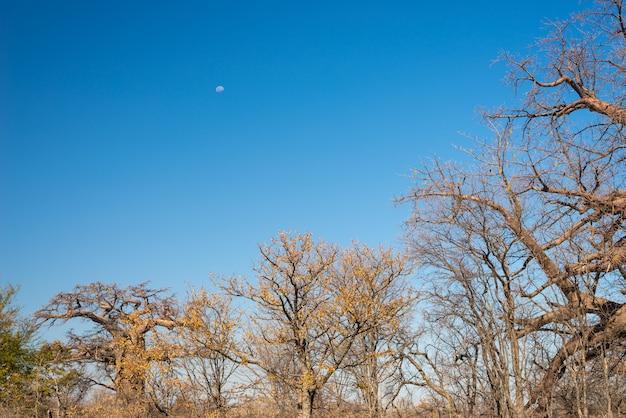 澄んだ青い空とアフリカのサバンナのバオバブ植物と月。ボツワナ