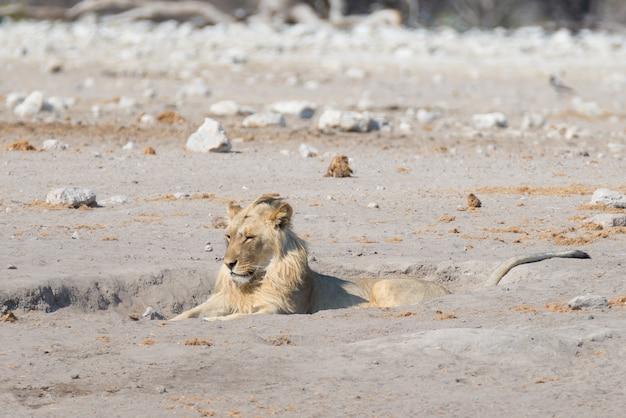 Лев лежит на земле. живая природа в национальном парке этоша, намибия, африка.