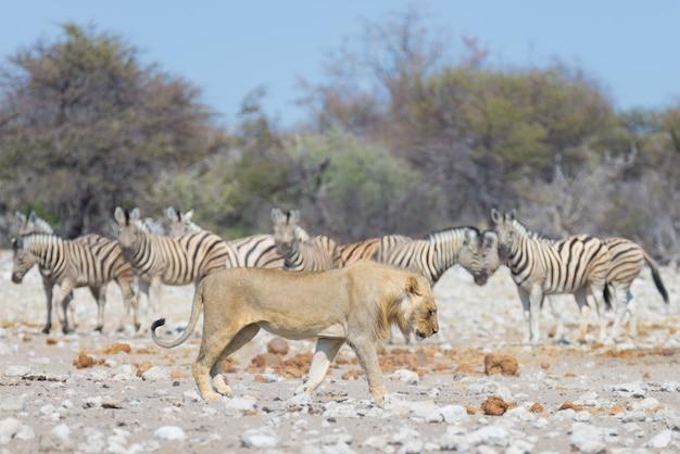Лев и зебры. живая природа в национальном парке этоша, намибия, африка.