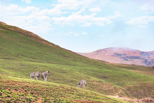 南アフリカのゴールデンゲートハイランズ国立公園の山で放牧されているシマウマ。