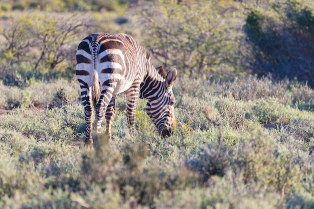 Гора зебра пасется в кустах.