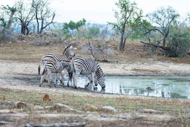 Стадо зебр пьет из водопоя в кустах